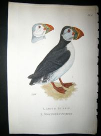 Shaw C1800's Antique Hand Col Bird Print. Arctic & Northern Puffin